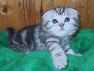 продажа породистых шотландских мраморных котят Шотландские прямоухие скотишш стр