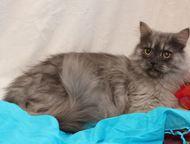 Отдам из приюта в хорошие руки серого персидского кота Москва и МО. Ведь такому