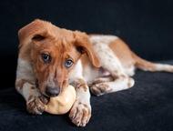 Ищет дом щенок, зацелованный солнцем Руфус-симпатичный, чуть нескладный, согласн