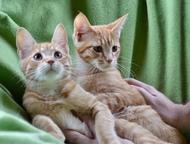 Метисы мейн-куна в добрые руки Котята от мамы мейн-куна и папы бобтейла. Мальчик