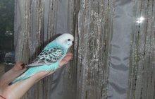 Волнистые попугаи(птенцы самки)