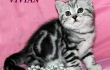 Британские котята черный мрамор на серебре из питомника Vivian