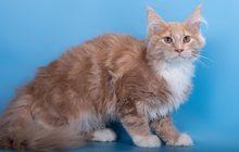 Клубный котенок, продажа или обмен