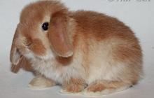 Крольчата мини, вислоухие и цветные