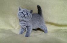 Британский котенок - кот лилового окраса