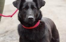 Красивая чёрная собака Берта в добрые руки