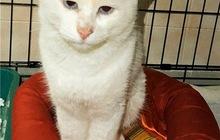 Белоснежный голубоглазый котик ищет дом