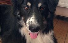 Невероятно красивый пес Байкал ищет дом