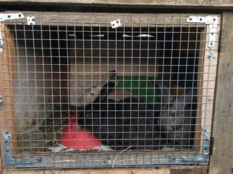 Смотреть фото Другие животные Парное мясо кролика и живые крольчата пород Калифорниец, Ризен, Серый великан, Венский черный, 34565406 в Москве