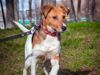 Уникальное фото  Самый милый щенок Майло в добрые руки! 50050702 в Москве