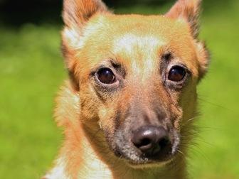 Скачать бесплатно изображение  Чудесная собака Чили в добрые руки, 67664938 в Москве