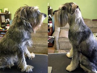 Уникальное foto Услуги для животных Стрижка собак, тримминг, стриппинг, 8728620 в Москве