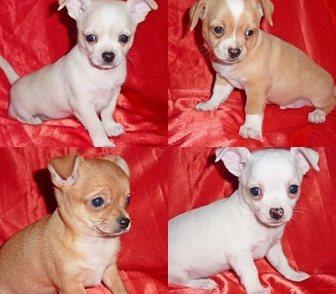 Фото в Собаки и щенки Продажа собак, щенков Мечтали приобрести крохотную собачку – только в Москве 8500