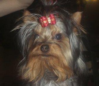Фотография в Собаки и щенки Продажа собак, щенков Предлагается к продаже подрощенный щенок в Москве 20000