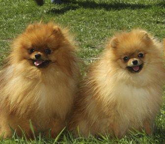 Фото в   Предлагаются к продаже щенки померанского в Москве 20000