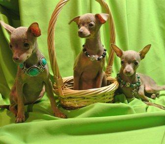 Изображение в Собаки и щенки Продажа собак, щенков Продам щенка, девочку лилового окраса. Дата в Москве 9000