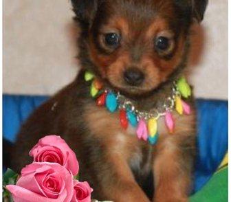 Фотография в Собаки и щенки Продажа собак, щенков Продаются длинношерстные и гладкошерстные в Москве 10000