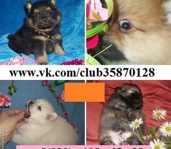 Фотография в Собаки и щенки Продажа собак, щенков Чистокровных шпицов продам. Щеночки для души в Москве 0