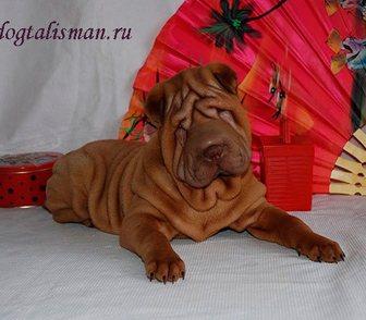 Фото в Собаки и щенки Продажа собак, щенков Предлагается к продаже щенок шар-пея, мальчик в Москве 35000