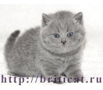 Фото в Кошки и котята Продажа кошек и котят Британские голубые котята - кошечка и котик. в Москве 6000