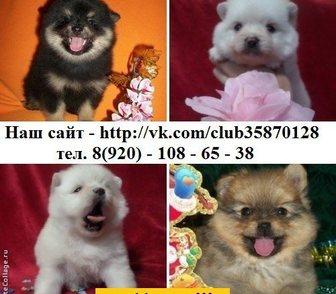 Фото в Собаки и щенки Продажа собак, щенков ШПИЦА чистокровных красивеньких щеночков в Москве 0