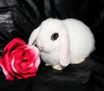 Изображение в Авто Автозапчасти Продаются карликовые крольчата из Питомника в Москве 3500