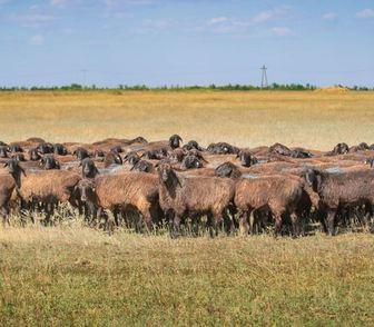 Изображение в   Все овцы котные (беременные) 300 голов.  в Москве 8000