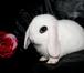 Фотография в Авто Автозапчасти Продаются карликовые крольчата из Питомника в Москве 3500