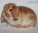Изображение в Домашние животные Грызуны Предлагаем для резервирования и продажи карликовых в Москве 4555