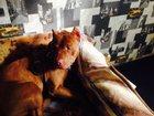 Фото в Собаки и щенки Вязка собак Молодой кобель по кличке Лорд ищет самку в Москве 0
