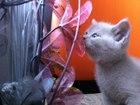 Фотки Британская короткошерстная смотреть в Мурманске