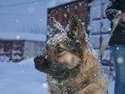 Фотография в Собаки и щенки Продажа собак, щенков Манечке около 2-ух лет. Примерная, послушная, в Мурманске 0
