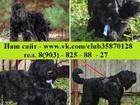 Фотки и картинки Русский чёрный терьер смотреть в Мурманске