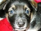 Фото в   Умный ласковый щенок-метис с терьерчи3ом в Мысках 0