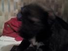 Свежее фото Отдам даром Отдам щенков в добрые руки 37733519 в Мытищи