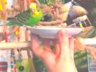 Свежее foto  Волнистые попугаи -от Заводчика 68068632 в Мытищи