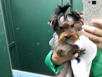 Просмотреть foto  Потерялась собачка (йоркширский терьер) в результате ДТП на трассе М - 7 39674991 в Набережных Челнах