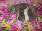 Фото в Кошки и котята Продажа кошек и котят Вислоухие котята неземной красоты. Очень в Находке 4000