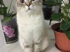 Просмотреть фотографию Вязка кошек молодой британский короткошерстный кот 50586351 в Нефтекамске