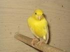 Увидеть foto  Продам попугаев и канареек в Верхнем Тагиле, 68702645 в Невьянске