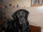 Скачать бесплатно фотографию Вязка собак ищем кобеля лабрадора для вязки 38110111 в Нижнекамске