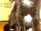 Фотография в  Отдам даром - приму в дар отдам в добрые руки котёнка 3 месяца к лотку в Нижневартовске 0
