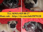 Фото в Собаки и щенки Продажа собак, щенков Хорошенькие, миленькие щеночки мопса! Чистокровные в Нижнем Новгороде 0