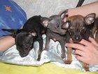 Изображение в   Продаются 3 щенка русского тоя. Два мальчика в Нижнем Новгороде 0