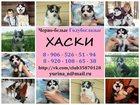 Изображение в Собаки и щенки Продажа собак, щенков ХАСКИ черно-белых щеночков с яркими голубыми в Нижнем Новгороде 123