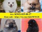 Фотография в Собаки и щенки Продажа собак, щенков Очаровательные щеночки померанского шпица в Нижнем Новгороде 0