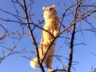 Фотография в Кошки и котята Продажа кошек и котят куплю котенка рыжего перса или полуперса в Нижнем Новгороде 0