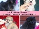 Изображение в Собаки и щенки Продажа собак, щенков У нас хороший выбор щеночков померанского в Нижнем Новгороде 0