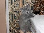 Фотография в Кошки и котята Продажа кошек и котят Шотландские котята, девочки, 2 месяца , дымчатого в Нижнем Новгороде 1000