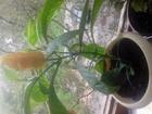 Фотография в Хобби и увлечения Разное Красивое экзотическое растение Пахистахис в Нижнем Новгороде 500